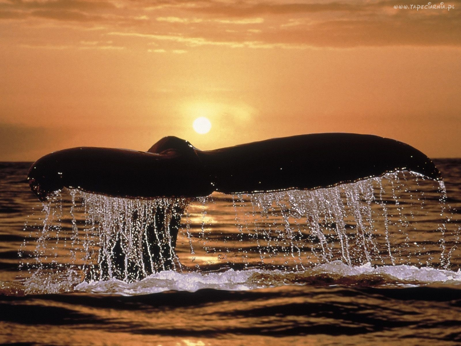 pletwa wieloryba