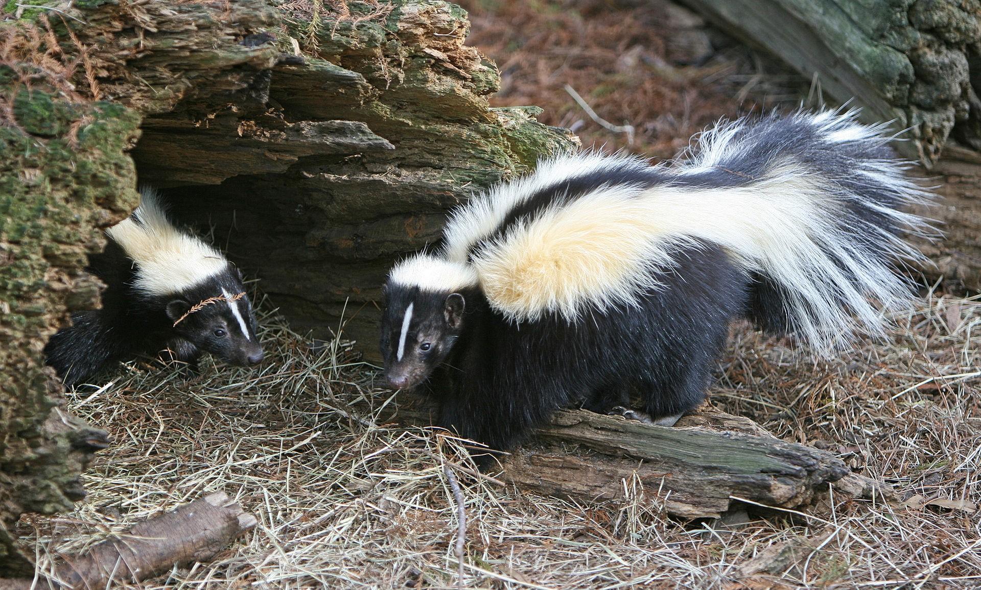 Skunks striped