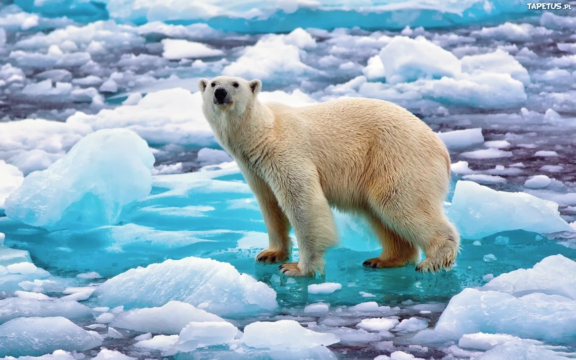 niedzwiedz polarny kra