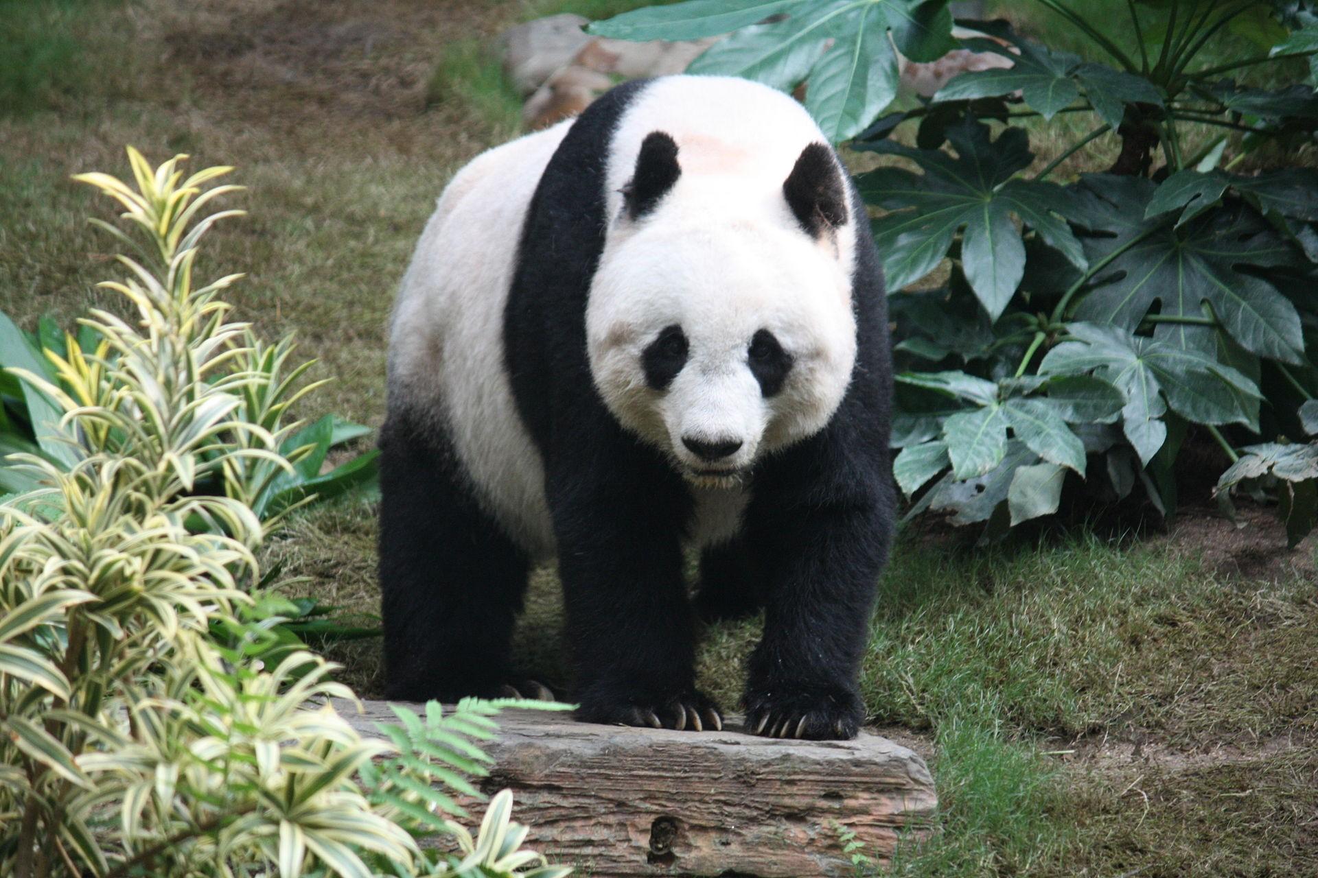 Panda Grosser